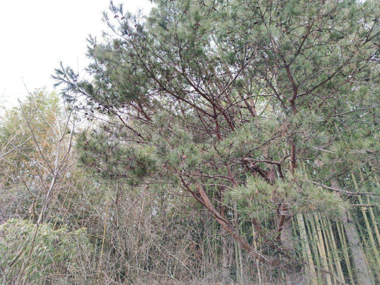 竹やぶに紛れた松
