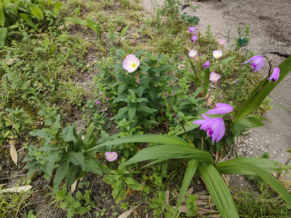 Reno5 A花
